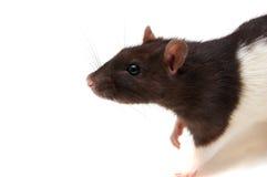 Zwart-witte rat Stock Afbeelding