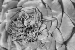 Zwart-witte Rose Bud in detail stock afbeeldingen