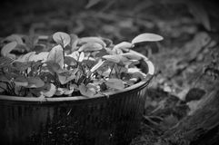 Zwart-witte salade, Royalty-vrije Stock Fotografie