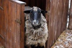 Zwart-witte schapen dichtbij de schuur stock foto's