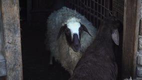 Zwart-witte schapentribune in de pen stock video