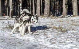 Zwart-witte schor honden royalty-vrije stock afbeeldingen