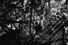 Zwart-witte silhouetaap op boom bij Ragunan-Dierentuin, Djakarta, Indonesië stock foto