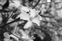 Zwart-witte Spruitjesbloem Royalty-vrije Stock Fotografie