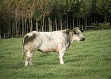 Zwart-witte Stier Stock Fotografie