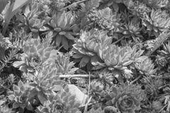 zwart-witte succulents royalty-vrije stock foto
