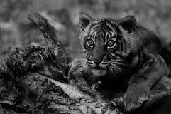 Zwart-witte tijgerwelp royalty-vrije stock foto's