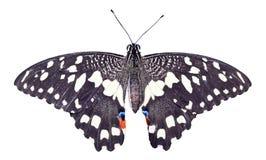 Zwart-witte vlinder Stock Foto
