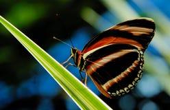 Zwart-witte vlinder Royalty-vrije Stock Afbeeldingen