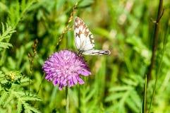 Zwart-witte vlinder op de violette bloem Royalty-vrije Stock Afbeelding