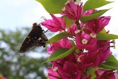 Zwart-witte vlinder op magenta bougainvillea Stock Afbeeldingen
