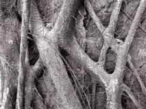 Zwart-witte wortels Stock Afbeeldingen