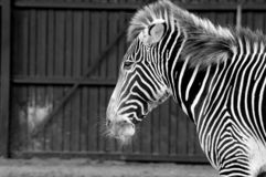 Zwart-witte Zebra die zich alleen bevinden stock afbeeldingen