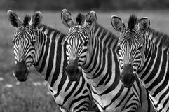 Zwart-witte Zebras Stock Foto's
