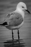 Zwart-witte zilveren meeuw (Chroicocephalus-novaehollandiae) Stock Fotografie
