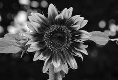 Zwart-witte zonnebloem Stock Afbeeldingen