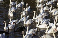 Zwart-witte zwaan Stock Foto's