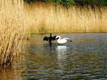Zwart-witte zwaan op het meer stock afbeelding