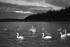 Zwart-witte zwanen bij nachtmening royalty-vrije stock afbeeldingen
