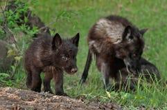 Zwart Wolf Pup (Canis-wolfszweer) met Moeder op Achtergrond Stock Fotografie