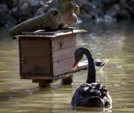 Zwart zwaan en vogelhuis op het water Royalty-vrije Stock Foto