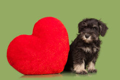 Zwart Zwergschnauzer-puppy en rood hart Stock Afbeelding