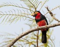 Zwartbandbaardvogel, Bearded Barbet, Pogonornis dubius royalty free stock image
