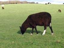 A Zwartbles Ram Grazing Stock Image