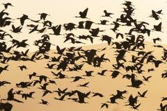 Zwarte朱鹭,光滑的朱鹭, Plegadis falcinellus 免版税库存图片
