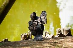 Zwarte Aalscholver van erachter Royalty-vrije Stock Afbeelding