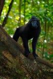 Zwarte aap met open mond met grote tand, die in de aardhabitat zitten, donkere tropische boscelebes kuifmacaque, Macaca royalty-vrije stock foto