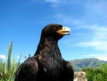 Zwarte adelaar Stock Foto