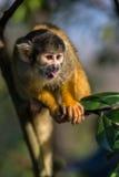 Zwarte afgedekte eekhoornaap Stock Foto's