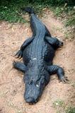 Zwarte alligator royalty-vrije stock fotografie