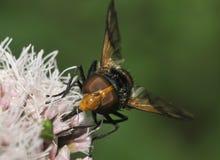 Zwarte & Witte Hoverfly Royalty-vrije Stock Afbeelding