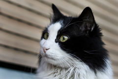 Zwarte & witte kat Stock Afbeeldingen