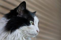 Zwarte & witte kat Stock Foto