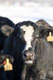 Zwarte Angus Cattle Royalty-vrije Stock Foto's