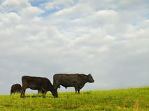 Zwarte Angus Cattle Stock Foto