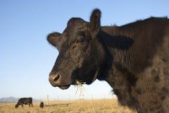 Zwarte Angus Cow Royalty-vrije Stock Foto