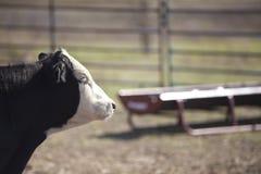 Zwarte Angus Steer stock afbeeldingen