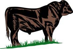 Zwarte Angus Steer Stock Afbeelding