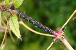 Zwarte aphids die die sap van installatie zuigen, door mieren wordt gecultiveerd royalty-vrije stock afbeelding