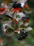 Zwarte ashberry Royalty-vrije Stock Foto