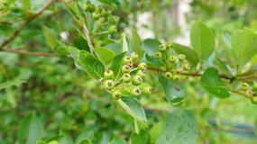 Zwarte ashberry onrijp Royalty-vrije Stock Fotografie