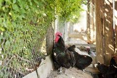 Zwarte australorphaan Stock Foto