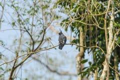 Zwarte Baza vogel Royalty-vrije Stock Foto's