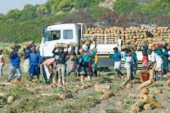 Zwarte bedrijfsmedewerkers die aardappels oogsten en op vrachtwagen in Cape Town, Zuid-Afrika laden Stock Foto's
