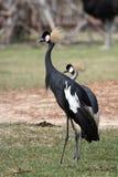 Zwarte Bekroonde Kraan Royalty-vrije Stock Afbeeldingen