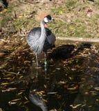 Zwarte Bekroonde Kraan, Balearica-pavonina in de dierentuin stock afbeeldingen